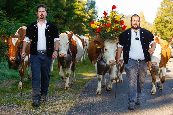 Proudly leading the cows from St Cergue to Crassier.