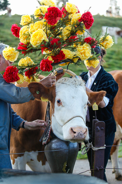 Preparing the leaders of the herds with traditional floral headdresses.