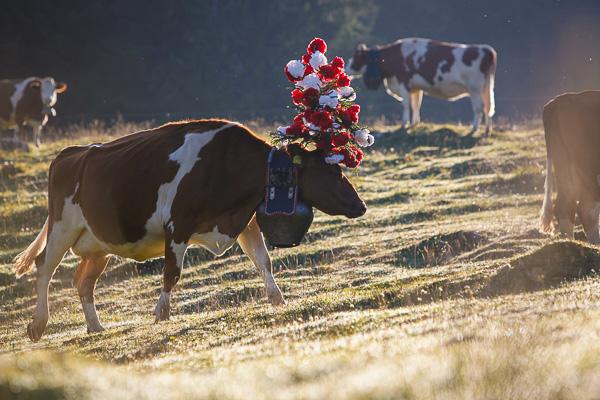 Cow in morning sun.